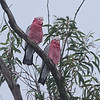 Galah Cockatoos - Blue Mountains, Australia
