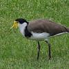 Masked Lapwing (Southern)