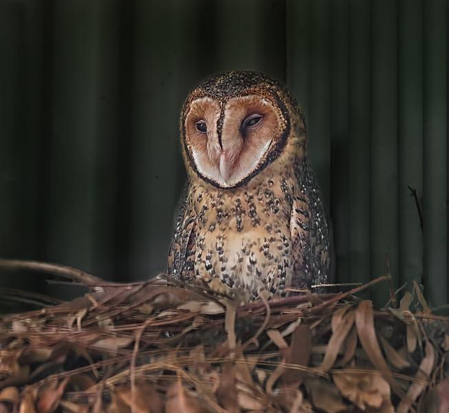 Tasmanian Masked Owl