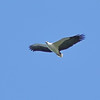 White-bellied Sea Eagle - Green Island, Great Barrier Reef