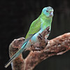 Turquoise Parrot - Female