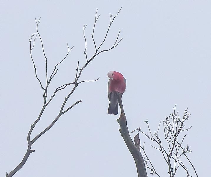 Galah Cockatoo - Blue Mountains, Australia