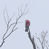 Galah Cockatoo - Blue Mountains, Australia