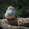 Blue Breasted Cordon-bleu Waxbill Finch