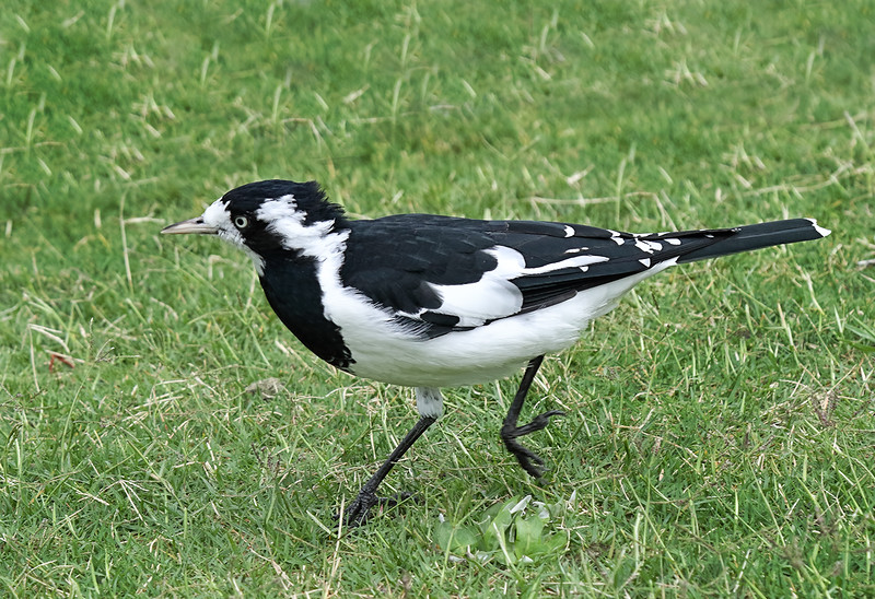 Magpie-lark - Female