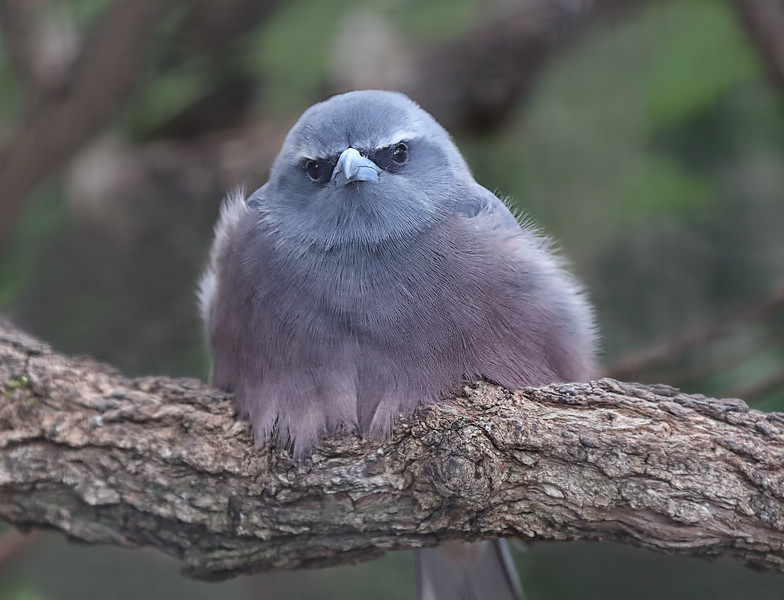 White-browed Woodswallow - Australia