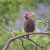 Painted Firetail