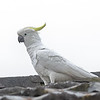 Sulphur-crested Cockatoo - Katoomba