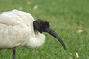 AustralianWhiteIbis
