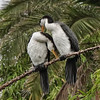 Little Pied Cormorants-Immature