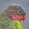 Princess Parrot - Australia