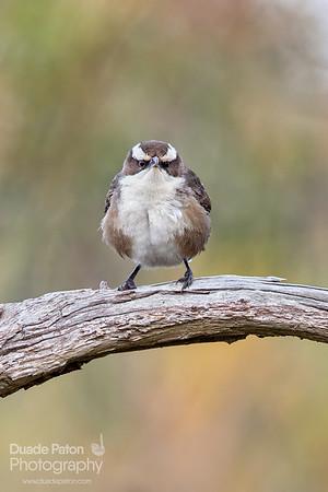 White-browed Babbler