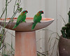 Musk Lorikeets on a rare visit to the birdbath on a very hot day in February, 2014