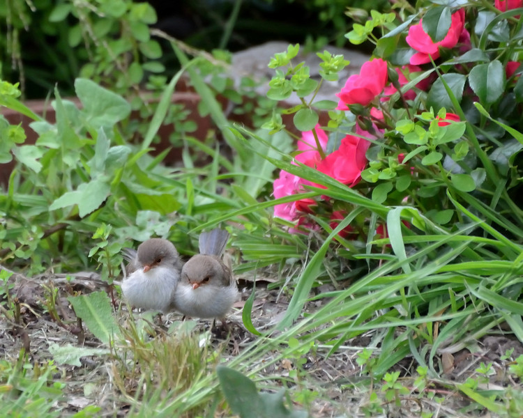 Baby Superb Fairy-wrens, waiting in a tangle of weeds and roses for the adults to return with food.