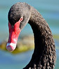 Portrait of a Black Swan<br /> Lake Pertobe, Warrnambool<br /> February 2013