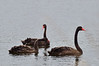 Young Black Swans<br /> Lake Hamilton, May 2013