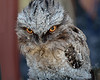 'Audrey' the Tawny Frogmouth