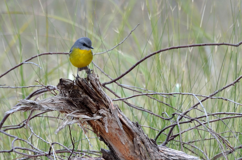 Eastern Yellow Robin<br /> Grampians National Park, May 2013