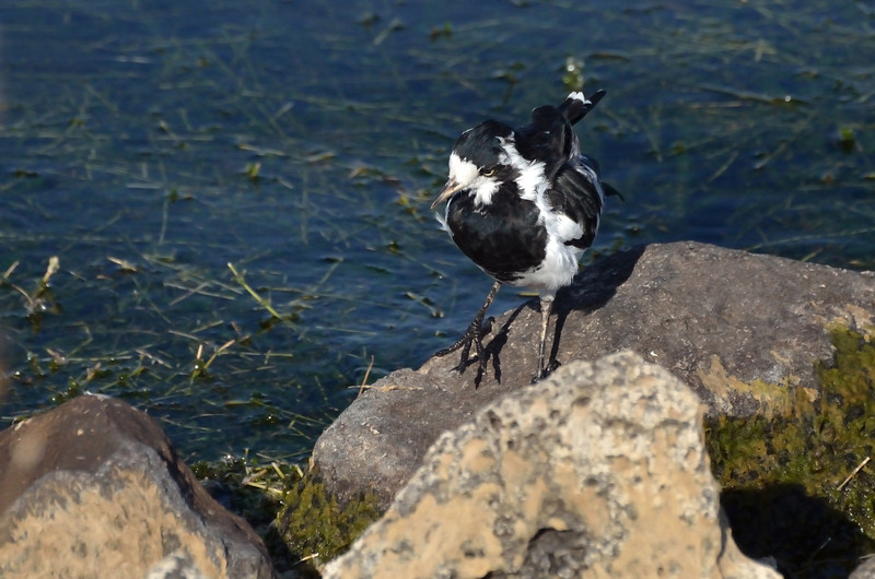 Slightly tousled Magpie Lark<br /> Lake Hamilton, February 2013