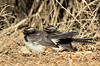 Willie Wagtail babies<br /> Hamilton, February 2013