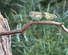 A pair of Striated Thornbills waiting for a chance at a drink and a bath.  Dunkeld Golf Club, November 2014