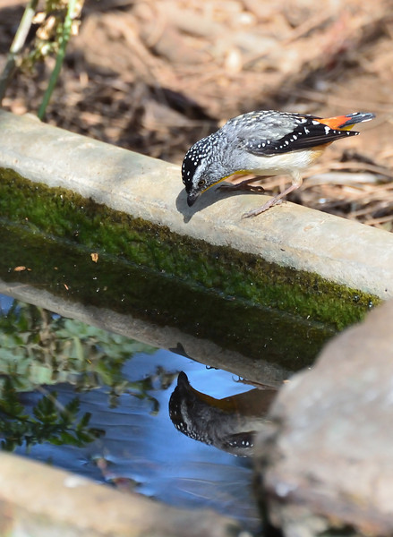 Staring at one's reflection was a popular activity at this water trough.<br /> (Spotted Pardalote, Tower Hill, January 2013