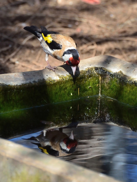 What's that bird doing in my water trough?  I want to have a drink!<br /> (European Goldfinch at Tower Hill, January 2013)