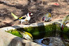 European Goldfinch with a few of the locals.