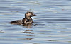 Musk Ducks - mother and child.<br /> Hamilton, Vic November 2012