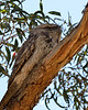 One of the parents, keeping watch from a nearby branch.<br /> Dunkeld Golf Course, November 2014