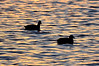 Early morning Coots.  I liked the light on the water in this one.<br /> Lake Hamilton, February 2013
