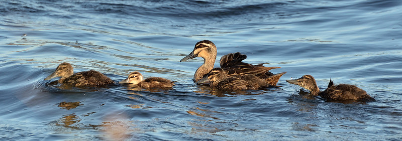 A slightly ruffled Pacific Black Duck with her brood.<br /> Lake Hamilton, February 2013