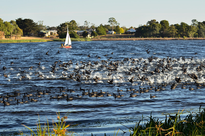 Lake Hamilton, Victoria<br /> There were large flocks of Eurasian Coots on the lake.  Whenever something disturbed them, they would fly up en masse, only to land again a short distance away.  The take-offs and landings were an amazing thing to see.<br /> February 2013