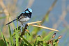 Superb Fairy-wren<br /> Lake Pertobe, Warrnambool<br /> February 2013