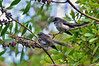 A pair of Grey Fantails, Tower Hill, January 2013