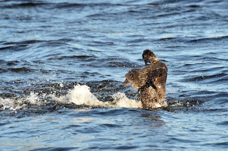 Musk Duck shaking its feathers.  These ducks have a rather unimpressive set of wings...<br /> Lake Hamilton, February 2013
