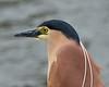 Nankeen Night Heron, Port Fairy, November 2013