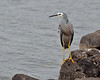 White-faced Heron<br /> Lake Hamilton, May 2013<br /> evening light