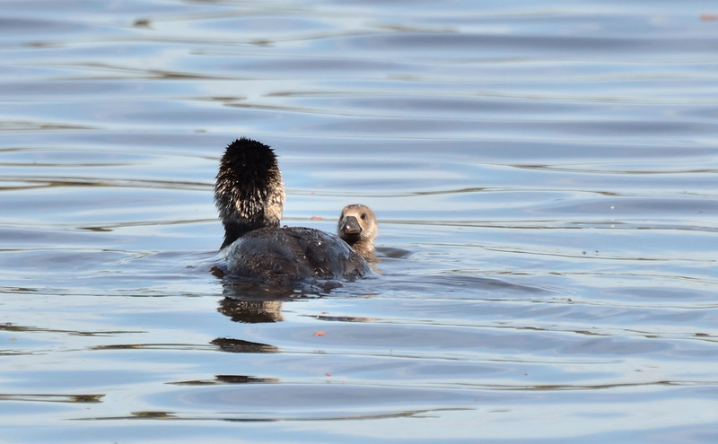 Big Musk Duck and little Musk Duck<br /> Hamilton, Vic., November 2012
