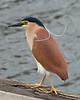 Nankeen Night Heron, Port Fairy, November 2013<br /> Slight crop.