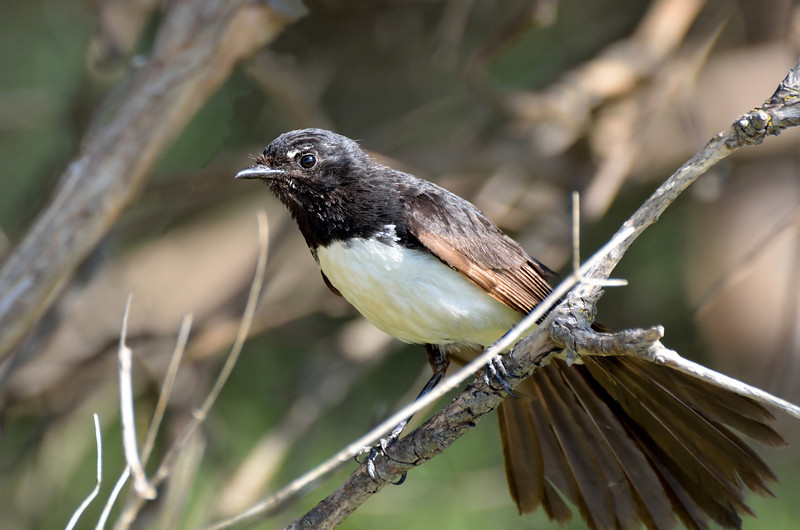 Willie Wagtail<br /> Warrnambool, January 2013