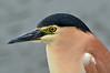 Nankeen Night Heron<br /> Port Fairy, November 2013