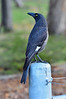 Pied Currawong<br /> Halls Gap, Grampians National Park<br /> May 2013