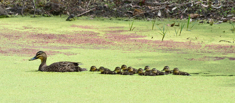 And they swam and they swam all over the dam...<br /> Pacific Black Duck and ducklings, Penshurst, Victoria.  November 2012