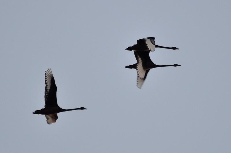 Swans in flight over Lake Hamilton just before sunrise.