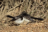 Willie Wagtail chicks<br /> Hamilton, February 2013