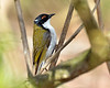 White-naped Honeyeater<br /> Tower Hill, January 2013<br /> This was a first for me.