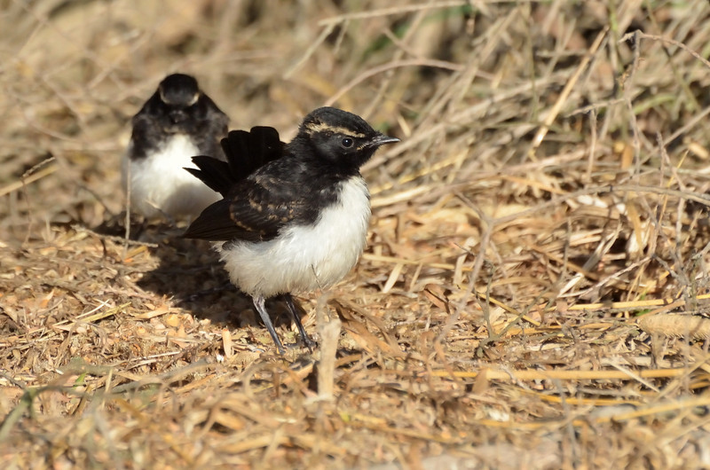 Willie Wagtail chicks<br /> Hamilton, February 2013