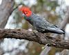 Gang-gang Cockatoo (male)