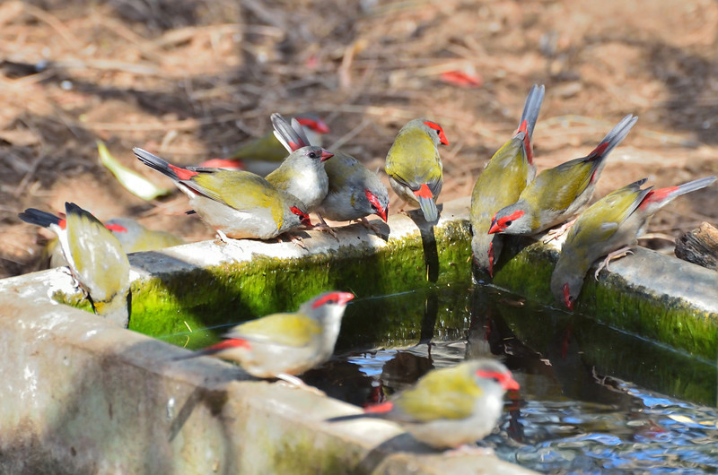 Red-browed finches making good use of a water trough.<br /> Tower Hill, January 2013